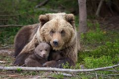Brown bear with cub in forest Royalty Free Stock Photo