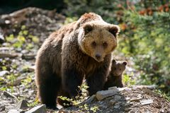 Brown bear with cub in forest Royalty Free Stock Images