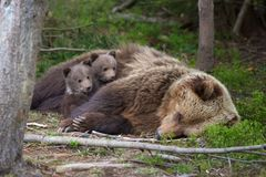 Brown bear with cub in forest Stock Photography