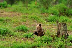Brown bear cub in forest Stock Images