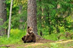 Brown bear cub in forest. At summertime Stock Photos