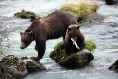 Brown bear cub holding fish in his mouth with sow by his side (U Stock Photo