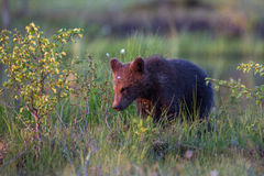 Brown Bear Cub In Finnish Field With Flowers Royalty Free Stock Photo