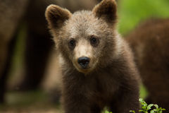 Brown Bear Cub In Finnish Forest Stock Photo