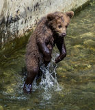 Brown Bear Cub. Jumps out of the water Royalty Free Stock Photo