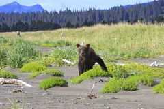 Brown Bear cub are just like a 3 year old kid royalty free stock photo