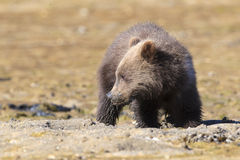Brown bear cub looking for clams Stock Images