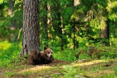Brown bear cub lying in forest Stock Photo