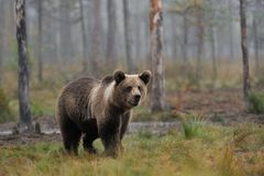 Brown bear cub in the mist Stock Photos
