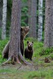 Brown bear cub with mother Stock Photo