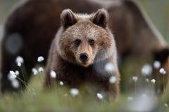 Brown bear cub with mother bear Stock Photos