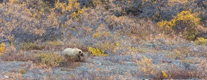 Brown bear cub moving in scrub Royalty Free Stock Photos