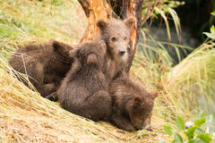 Brown bear cub nuzzling another beside tree Stock Photo