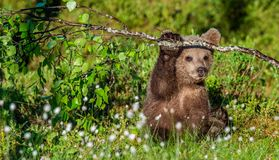 Brown Bear Cub Play With Birch Branch In Summer Forest Among White Flowers. Scientific Name: Ursus Arctos. Natural Green Royalty Free Stock Image