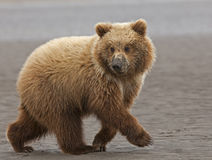 Brown bear cub running Stock Photo