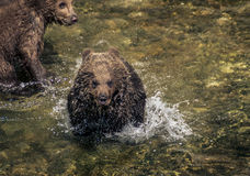 Brown Bear Cub. Running in the water Stock Photo