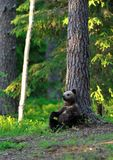 Brown Bear cub sitting Stock Photography