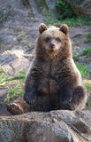 Brown bear cub. A brown bear cub sitting on a rock royalty free stock image
