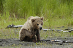 Brown bear cub sratching ear. In Alaska Stock Photography