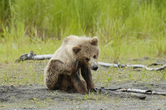 Brown bear cub sratching ear Royalty Free Stock Photo
