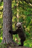 Brown Bear Cub standing Royalty Free Stock Images
