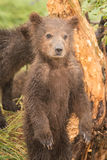 Brown bear cub standing on hind legs Stock Photos