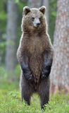 The brown bear cub standing on hinder legs. The bear cub standing on hinder legs. Ursus Arctos Brown Bear royalty free stock photography