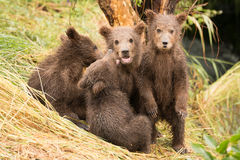 Brown bear cub standing beside three siblings Stock Photos