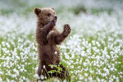 Brown bear cub stands on its hind legs in the summer forest among white flowers. Scientific name: Ursus arctos. Natural Background royalty free stock photo