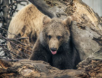 Brown Bear Cub. Sticks out its tongue Stock Photos