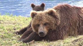 Brown bear and cub stock footage
