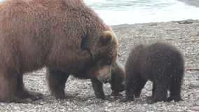 Brown bear and cub stock video