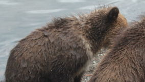Brown bear and cub stock video footage