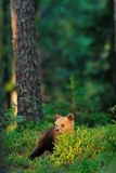 Brown bear cub at sunlight Royalty Free Stock Photos