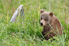 Brown Bear Cub in Tall Grasses Royalty Free Stock Photos