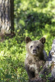 Brown bear cub (Ursus  arctos) watchful in the forest Royalty Free Stock Photo