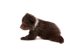 Brown Bear cub (Ursus arctos), on white Stock Photography