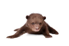 Brown Bear cub (Ursus arctos), on white Royalty Free Stock Photos
