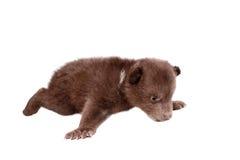 Brown Bear cub (Ursus arctos), on white Stock Photo