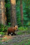 Brown bear cub walking Stock Photography