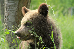 Brown bear cub watching Stock Photography