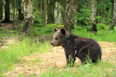 Brown bear cub watching Royalty Free Stock Photography