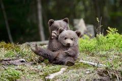 Brown bear cub stock images