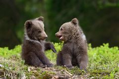 Brown bear cub. Wild brown bear cub close-up royalty free stock photos