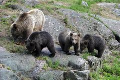 Brown bear with cubs Royalty Free Stock Images