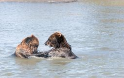 Brown bear cubs Royalty Free Stock Photo