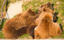 Brown bear and cubs Stock Photography