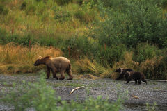 Brown Bear with Cubs. A female brown bear walking with two cubs Royalty Free Stock Photography