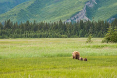 Brown Bear With Cubs. Adult Female Alaskan Coastal Brown Bear Walking In Grassy Meadow With Two Cubs Trailing Behind Stock Images