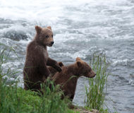 Brown bear cubs along a shoreline Royalty Free Stock Images